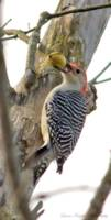 Red-bellied Woodpecker with Hickory Nut