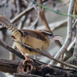 """Carolina Wren"" by WildAboutNaturePhotography"