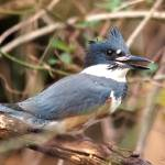 """Belted Kingfisher"" by WildAboutNaturePhotography"