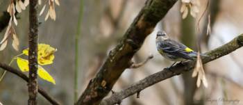 Yellow-rumped Warbler with Autumn Leaves