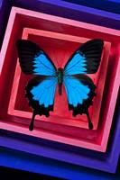 Blue Butterfly In Pink Box