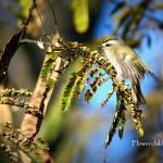 """Golden Crowned Kinglet - In Motion"" by flowerchild6482"