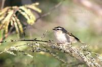 Golden Crowned Kinglet - At Attention