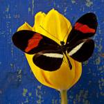 """Yellow Tulip With Orange and Black Butterfly"" by photogarry"