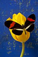 Yellow Tulip With Orange and Black Butterfly