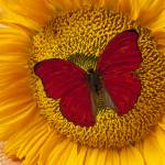 """Red Butterfly On Sunflower"" by photogarry"