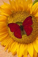 Red Butterfly On Sunflower