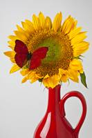 Red butterfly on sunflower on red pitcher