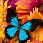 """Blue butterfly on brightly colored flowers"" by photogarry"