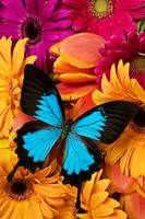 Blue butterfly on brightly colored flowers