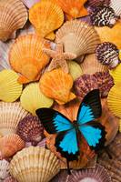 Blue butterfly and sea shells
