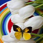 """Dogface butterfly on white tulips"" by photogarry"