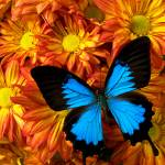 """Blue butterfly on mums"" by photogarry"