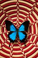 Blue black butterfly in basket