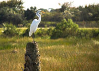 Great Egret at Viera Wetlands