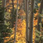 """_IGP3914.Golden Aspen.Vertical"" by SamSherman"