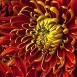 """Red and yellow spider mum"" by photogarry"