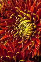 Red and yellow spider mum