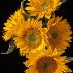 """""""Five sunflowers"""" by photogarry"""