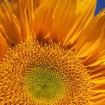 """""""Sunflower petals"""" by photogarry"""
