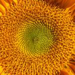 """Sunflower close up"" by photogarry"