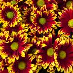 """Red yellow daisies"" by photogarry"