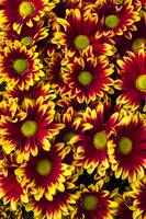 Red yellow daisies