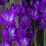 """Purple Gladiolus"" by photogarry"
