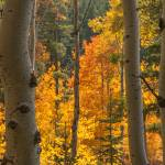 """_IGP3920.Golden Aspen"" by SamSherman"