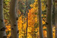 _IGP3920.Golden Aspen