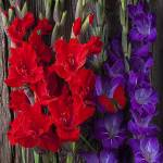 """Red and purple Gladiolus"" by photogarry"