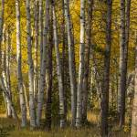 """_MG_0110.Aspen Trees in the Fall"" by SamSherman"