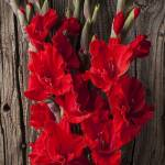 """Red Gladiolus"" by photogarry"