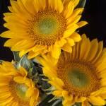 """Three sunflowers"" by photogarry"
