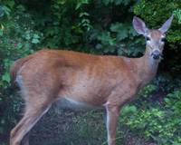 Deer- White-tail - in Summer