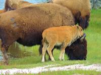 Buffalo Mother With Calf