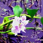 """Water Hyacinth"" by TriniArt"