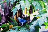 Blue Jay on a Banana Tree