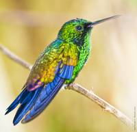 Copper-rumped Emerald Hummingbird