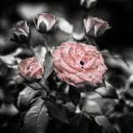 """Rose Cluster in Pink (#5)"" by JeremyHermanPhoto"