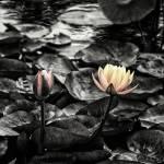 """""""Lotus #5"""" by JeremyHermanPhoto"""