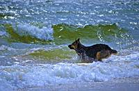 The Sea Dog Shepard