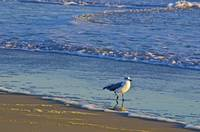 kdh_gull_beachwalking copy