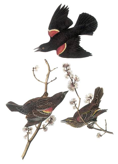 red winged blackbird coloring pages - photo#27