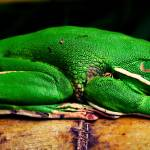 """Green tree frog"" by shady"