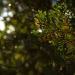 """Luminous Pine"" by NAR90"