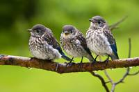 Three Bluebird Chicks