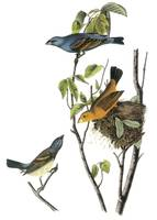 Blue Grosbeak Audubon Print