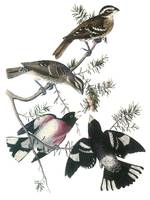 Rose-Breasted Grosbeak Audubon Print