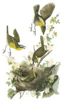 Yellow-Breasted Chat Bird Audubon Print